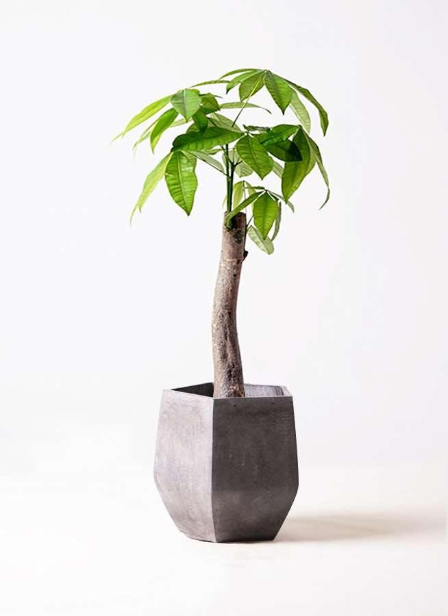 観葉植物 パキラ 8号 朴 ファイバークレイ Gray 付き