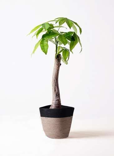 観葉植物 パキラ 8号 朴 リブバスケットNatural and Black 付き