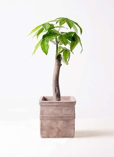 観葉植物 パキラ 8号 朴 テラアストラ カペラキュビ 赤茶色 付き