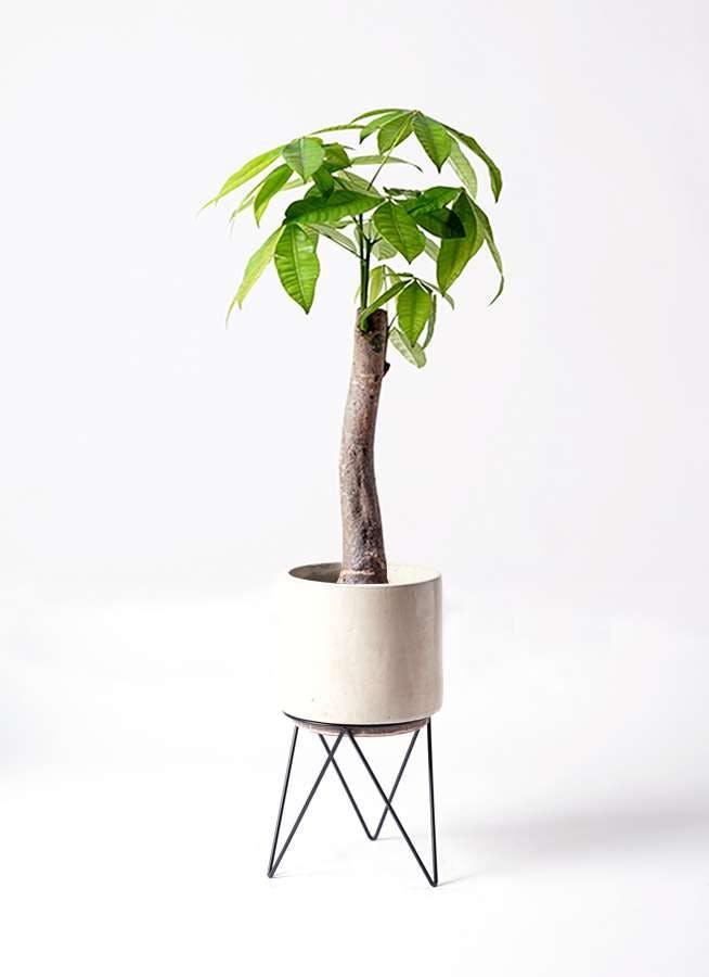 観葉植物 パキラ 8号 朴 ビトロ エンデカ クリーム アイアンポットスタンド ブラック 付き