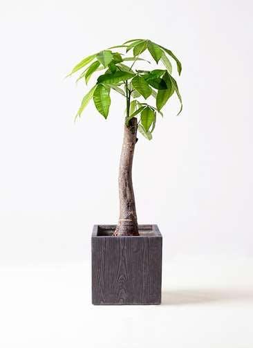 観葉植物 パキラ 8号 朴 ベータ キューブプランター ウッド 茶 付き