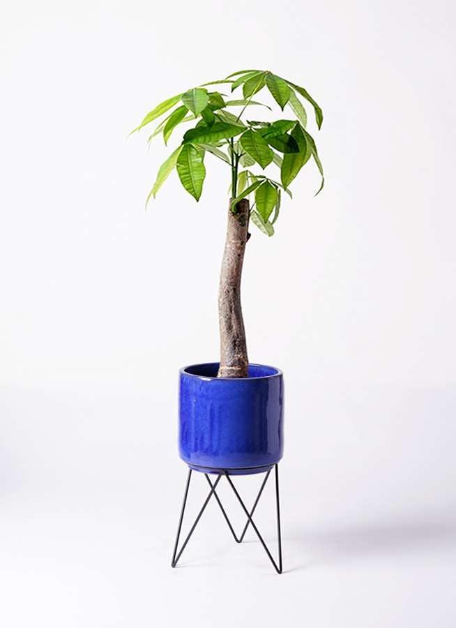 観葉植物 パキラ 8号 朴 ビトロ エンデカ ブルー アイアンポットスタンド ブラック 付き