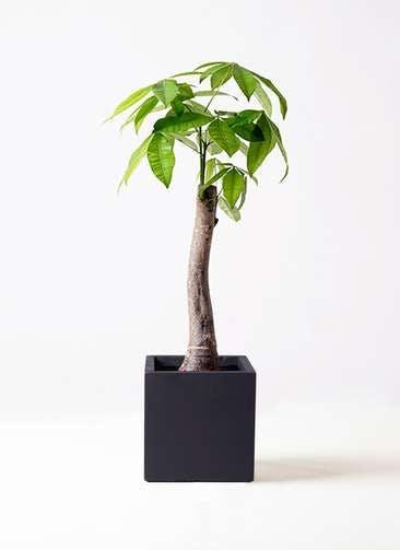 観葉植物 パキラ 8号 朴 ベータ キューブプランター 黒 付き