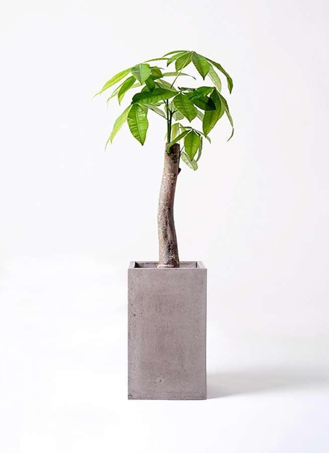 観葉植物 パキラ 8号 朴 セドナロング グレイ 付き