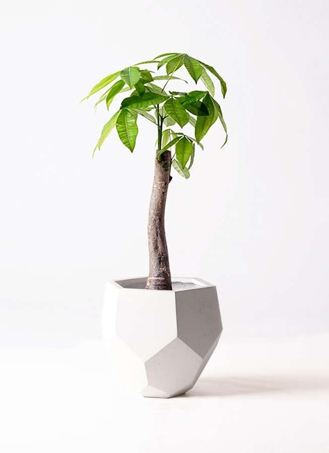 観葉植物 パキラ 8号 朴 ポリゴヘクサ 白 付き