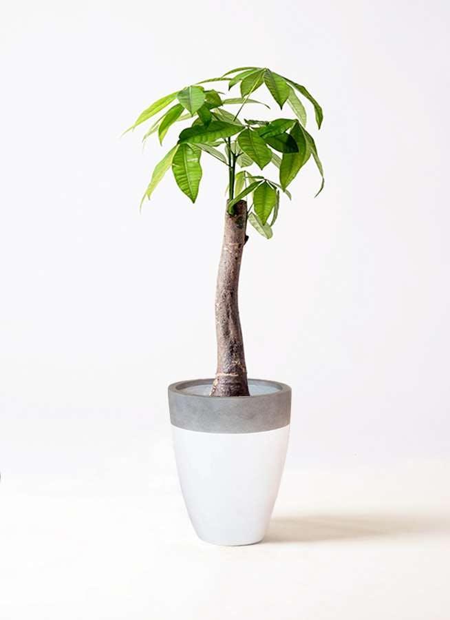 観葉植物 パキラ 8号 朴 ファイバーストーンカプリ 白 付き