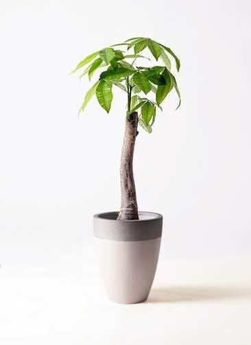 観葉植物 パキラ 8号 朴 ファイバーストーンカプリ サンディホワイト 付き
