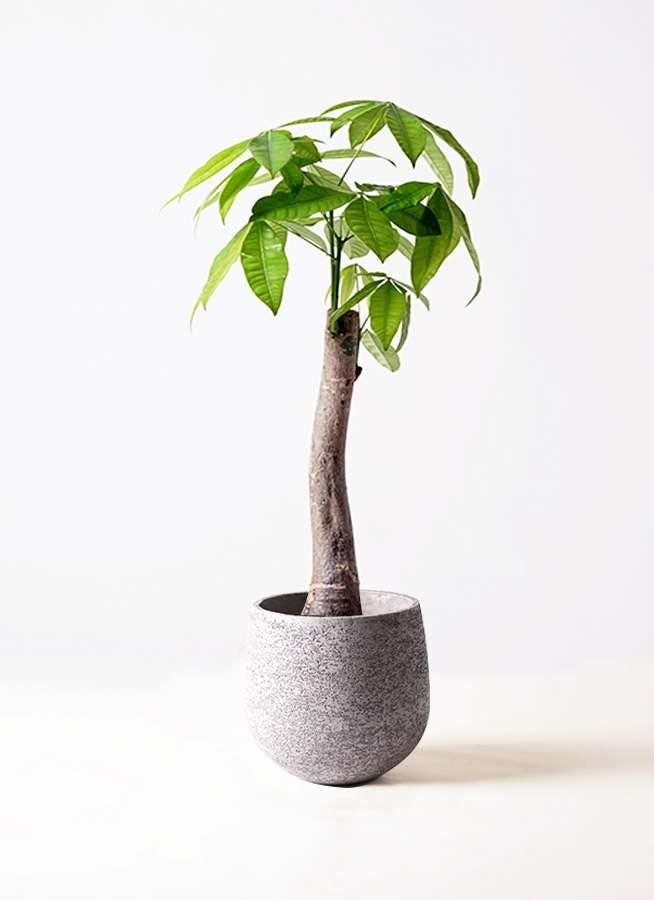 観葉植物 パキラ 8号 朴 エコストーンGray 付き