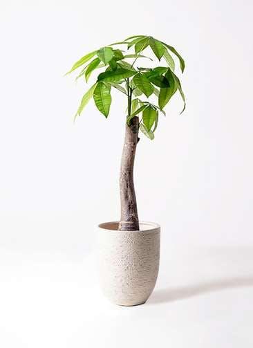 観葉植物 パキラ 8号 朴 ビアスアルトエッグ 白 付き