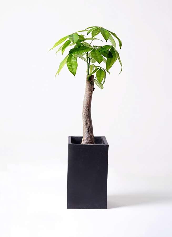 観葉植物 パキラ 8号 朴 セドナロング 墨 付き