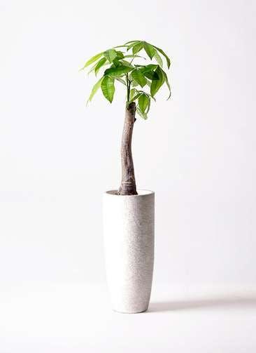 観葉植物 パキラ 8号 朴 エコストーントールタイプ white 付き