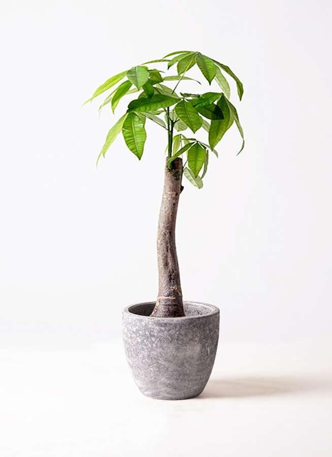 観葉植物 パキラ 8号 朴 アビスソニアミドル 灰 付き