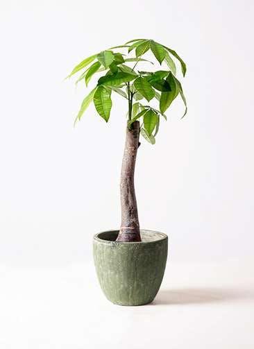観葉植物 パキラ 8号 朴 アビスソニアミドル 緑 付き