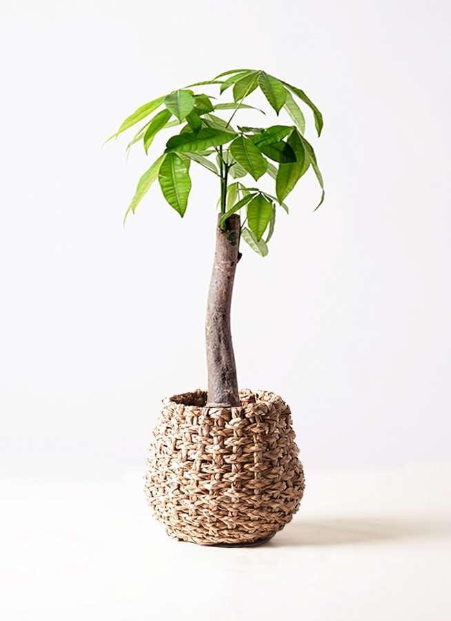 観葉植物 パキラ 8号 朴 ラッシュバスケット Natural 付き