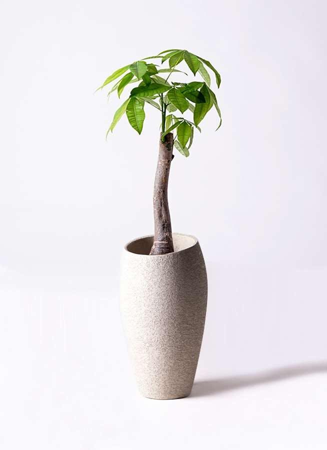 観葉植物 パキラ 8号 朴 エコストーントールタイプ Light Gray 付き