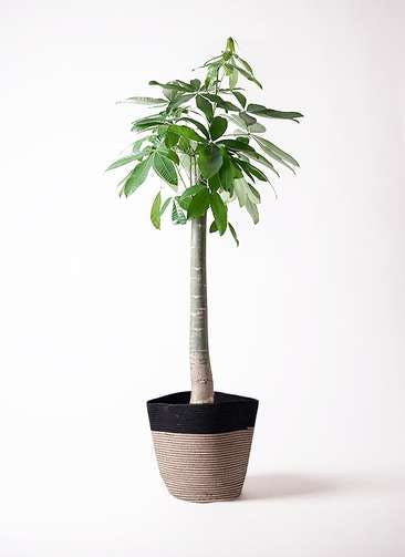 観葉植物 パキラ 10号 朴 リブバスケットNatural and Black 付き
