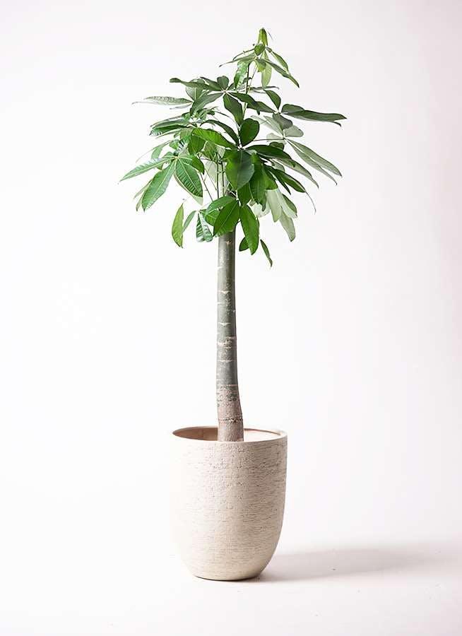 観葉植物 パキラ 10号 朴 ビアスアルトエッグ 白 付き