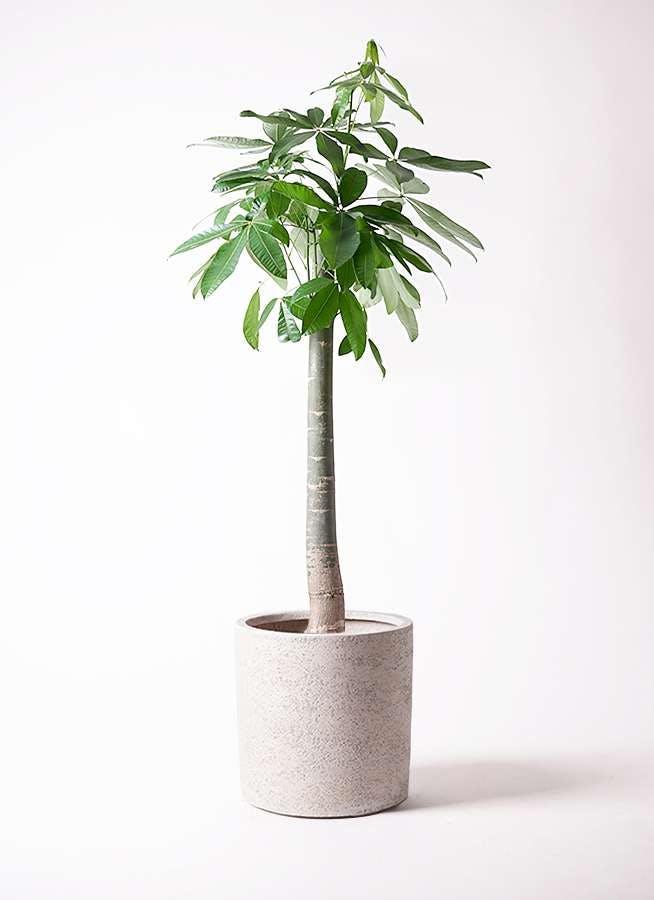 観葉植物 パキラ 10号 朴 サンディ シリンダー 白 付き