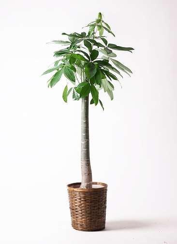 観葉植物 パキラ 10号 朴 竹バスケット 付き