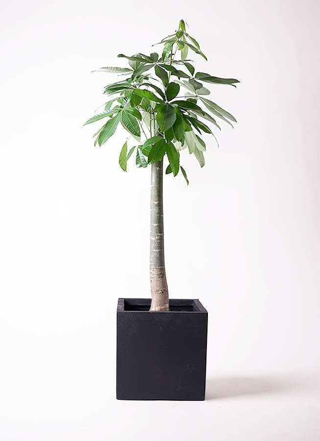 観葉植物 パキラ 10号 朴 ベータ キューブプランター 黒 付き