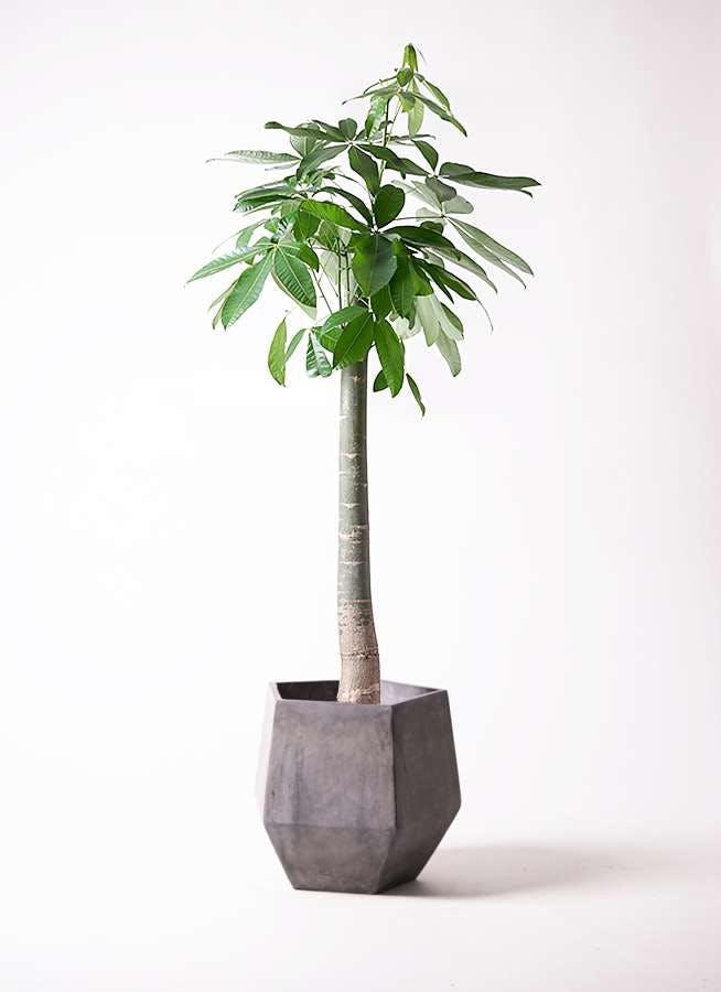 観葉植物 パキラ 10号 朴 ファイバークレイGray 付き