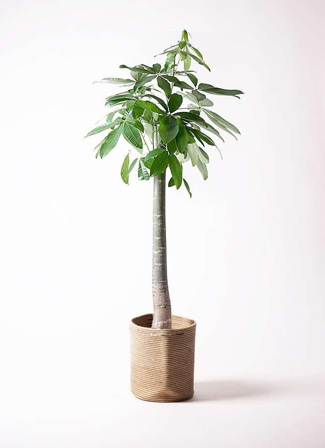 観葉植物 パキラ 10号 朴 リブバスケットNatural 付き