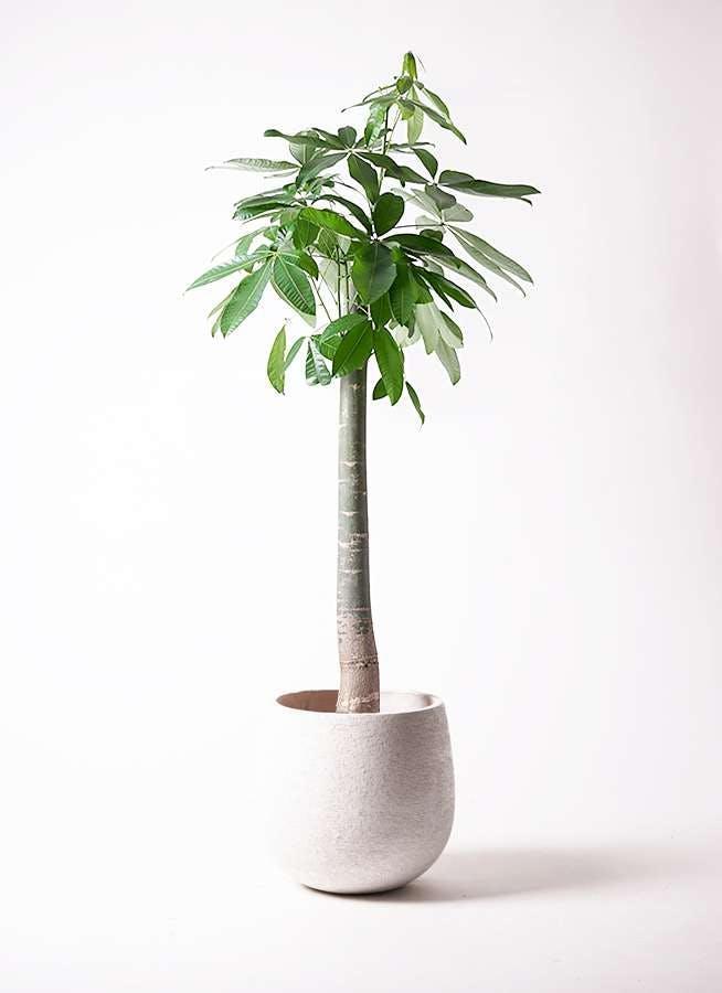 観葉植物 パキラ 10号 朴 エコストーンwhite 付き