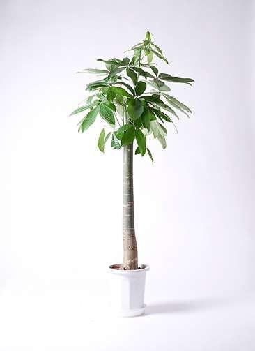 観葉植物 パキラ 10号 朴 プラスチック鉢