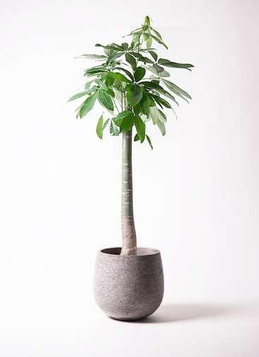観葉植物 パキラ 10号 朴 エコストーンGray 付き