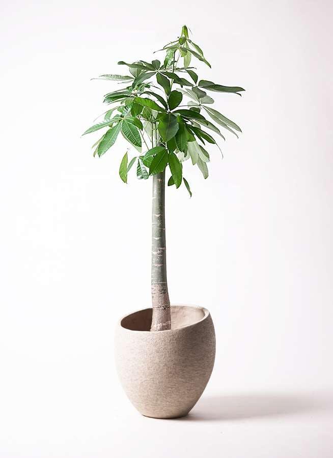 観葉植物 パキラ 10号 朴 エコストーンLight Gray 付き