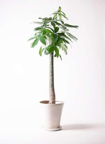 観葉植物 パキラ 10号 朴 サブリナ 白 付き