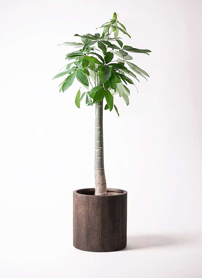 観葉植物 パキラ 10号 朴 アルファシリンダープランター 付き