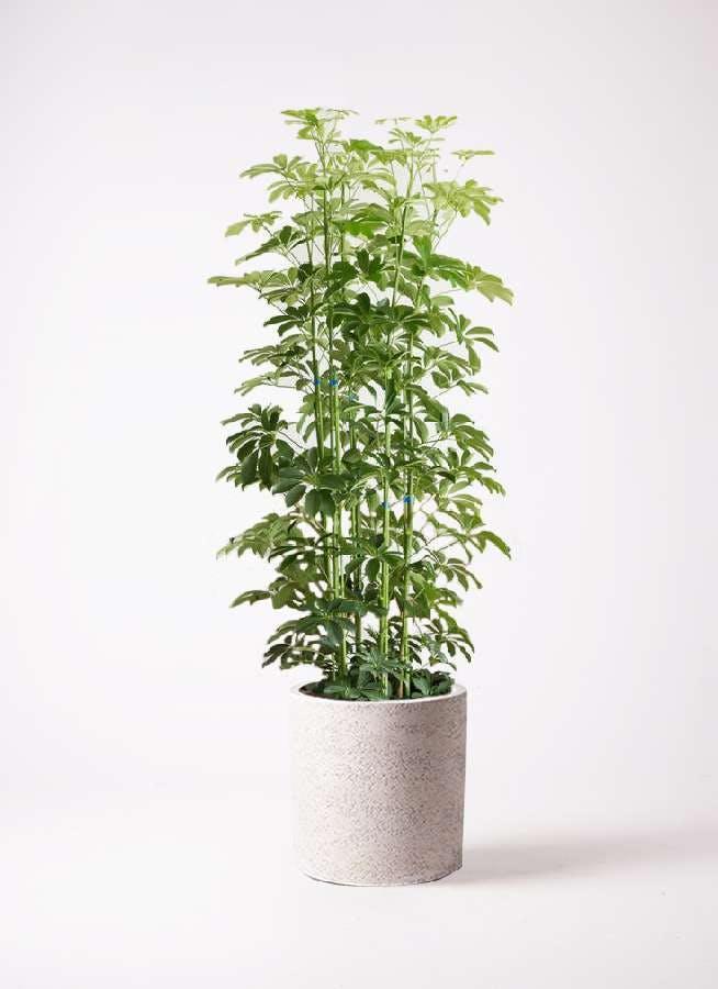 観葉植物 カポック(シェフレラ) 10号 ノーマル サンディ シリンダー 白 付き