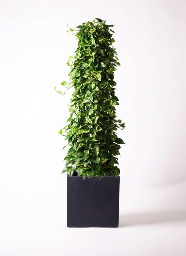 観葉植物 ポトス 10号 ベータ キューブプランター 黒 付き