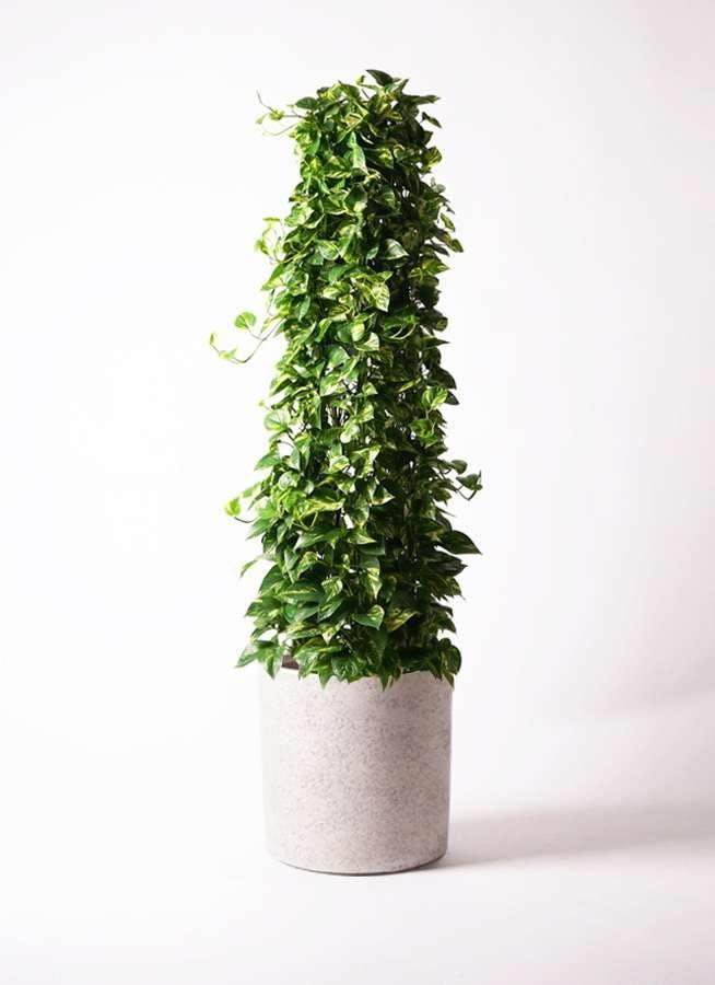 観葉植物 ポトス 10号 サンディ シリンダー 白 付き
