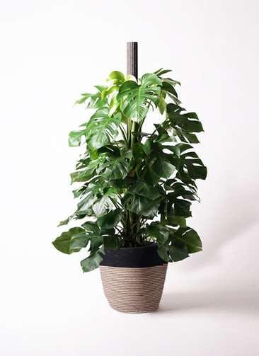 観葉植物 モンステラ 10号 ヘゴ柱 リブバスケットNatural and Black 付き