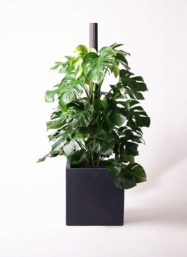 観葉植物 モンステラ 10号 木柱 ベータ キューブプランター 黒 付き