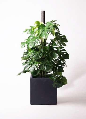 観葉植物 モンステラ 10号 ヘゴ柱 ベータ キューブプランター 黒 付き