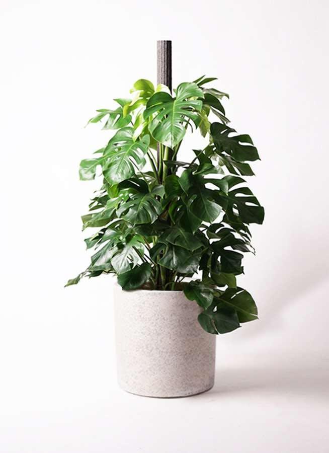 観葉植物 モンステラ 10号 木柱 サンディ シリンダー 白 付き