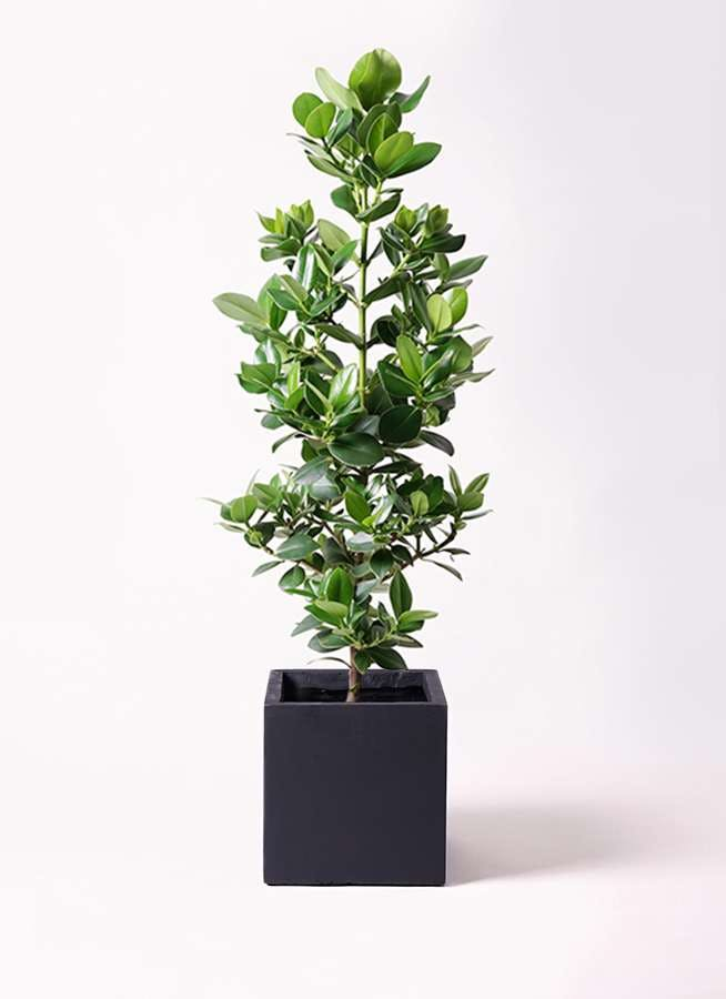 観葉植物 クルシア ロゼア プリンセス 8号 ベータ キューブプランター 黒 付き