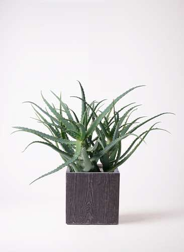 観葉植物 キダチアロエ 8号ベータ キューブプランター ウッド 茶 付き