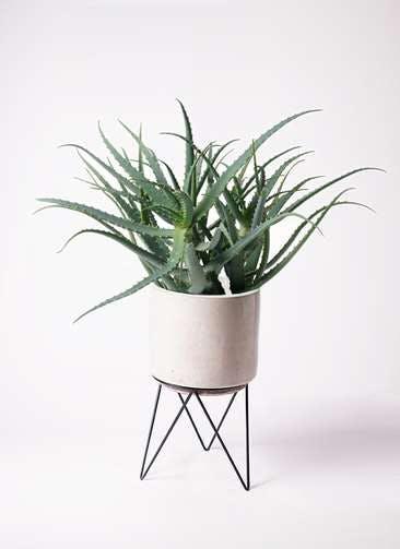 観葉植物 キダチアロエ 8号ビトロ エンデカ クリーム アイアンポットスタンド ブラック 付き
