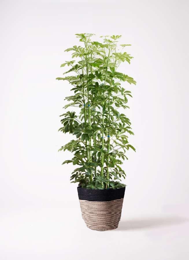 観葉植物 カポック(シェフレラ) 10号 ノーマル リブバスケットNatural and Black 付き