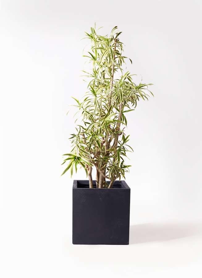 観葉植物 ドラセナ ソング オブ インディア 10号 ベータ キューブプランター 黒 付き