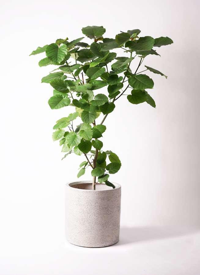 観葉植物 フィカス ウンベラータ 10号 ノーマル サンディ シリンダー 白 付き