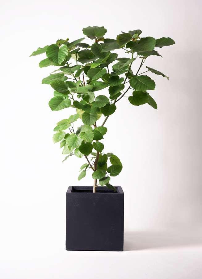 観葉植物 フィカス ウンベラータ 10号 ノーマル ベータ キューブプランター 黒 付き