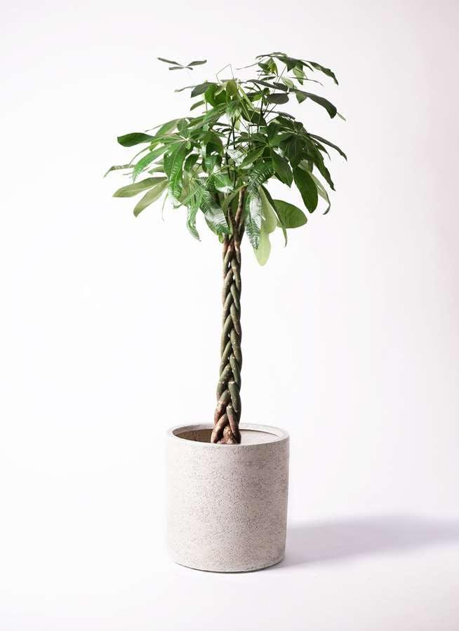 観葉植物 パキラ 10号 ねじり サンディ シリンダー 白 付き