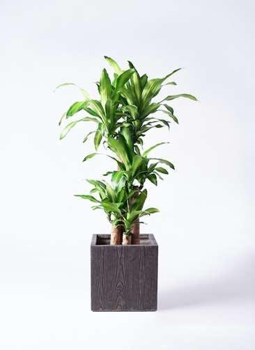 観葉植物 ドラセナ 幸福の木 8号 ノーマル ベータ キューブプランター ウッド 茶 付き