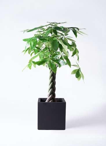 観葉植物 パキラ 8号 ねじり ベータ キューブプランター 黒 付き