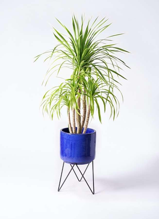 観葉植物 ドラセナ カンボジアーナ 8号 ビトロ エンデカ ブルー アイアンポットスタンド ブラック 付き